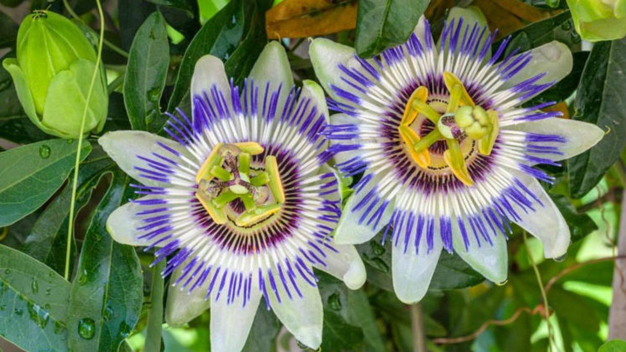 Passiflora 1280×720