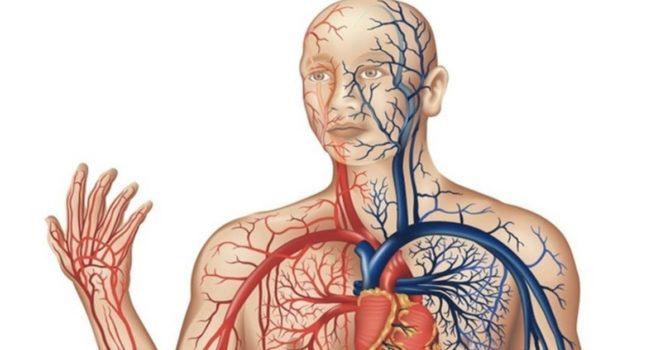 Artérias E Veias: Qual A Diferença?